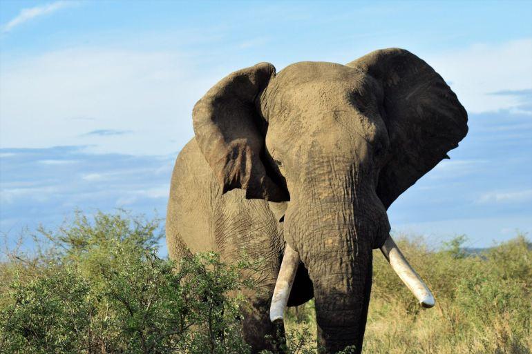 ingi olifant